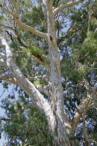 20070911104523-eucaliptus-calmadulencis.jpg